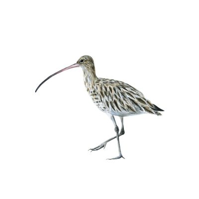 406Curlew