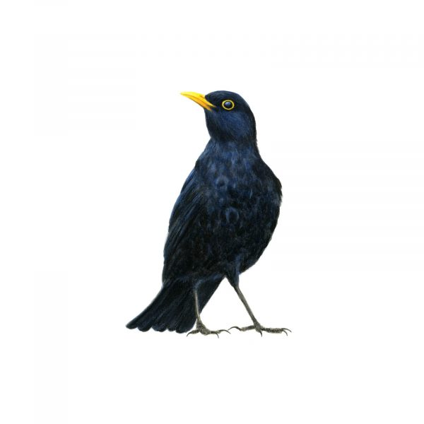 408Blackbird